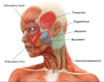 female face muscles
